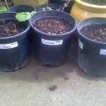 Hops Planting