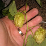 Wild hops mother plant, Wyoming