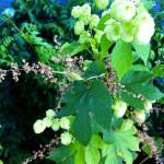 Hermi (male flowers wilted)