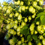 Lots of hops on this one