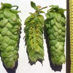Hop Breeding, 2014 Results